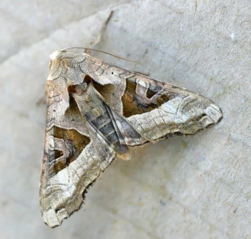 Phlogophora_meticulosa02